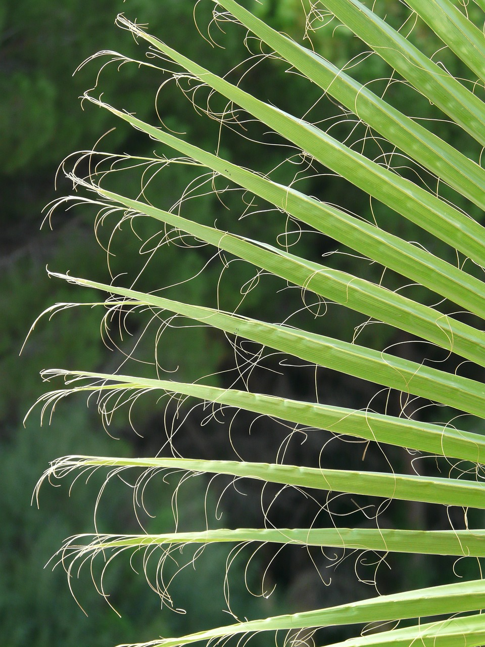 james palm fronds washington palm free photo