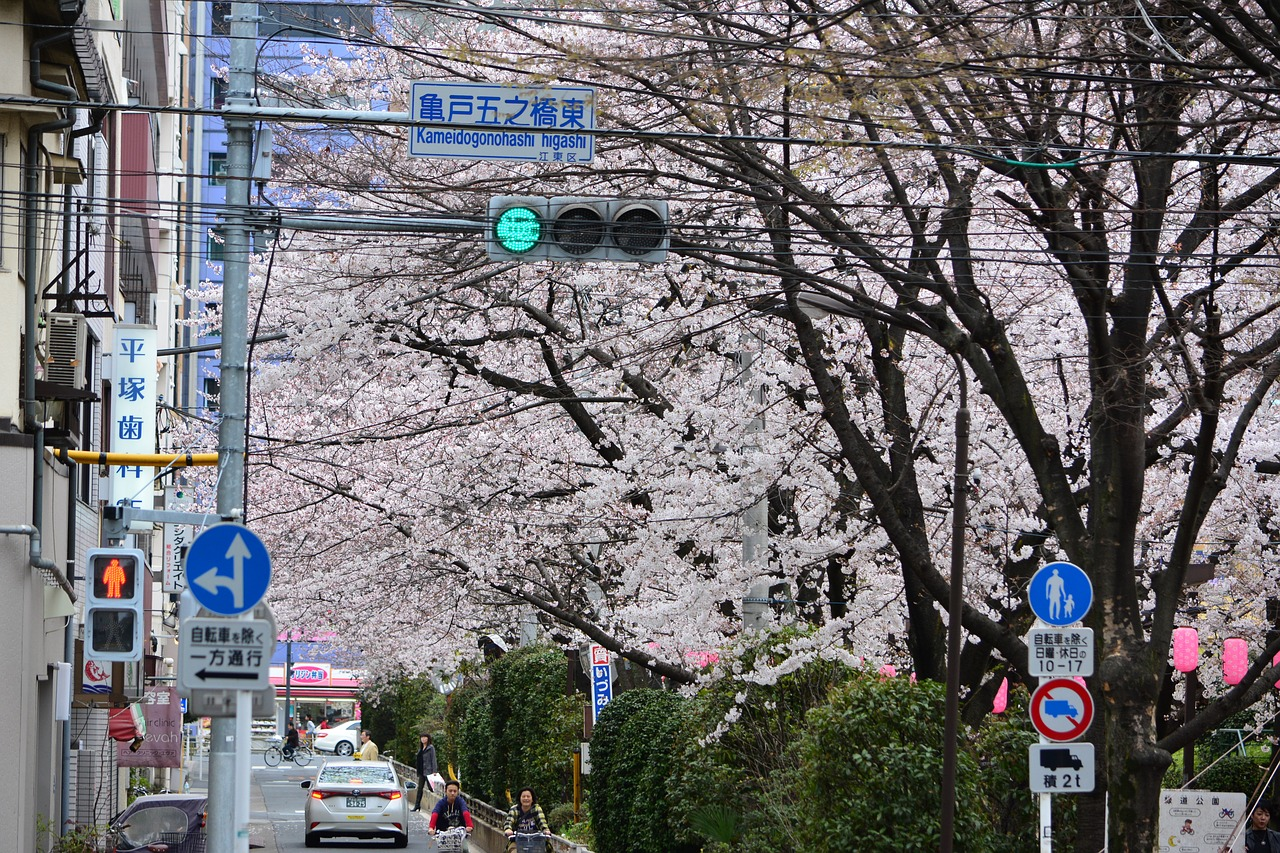 japan cherry blossom full open free photo