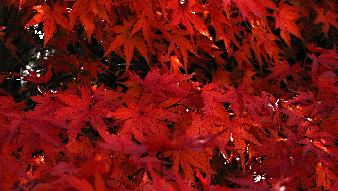 japanese maple red leaves of japanese maples free photo