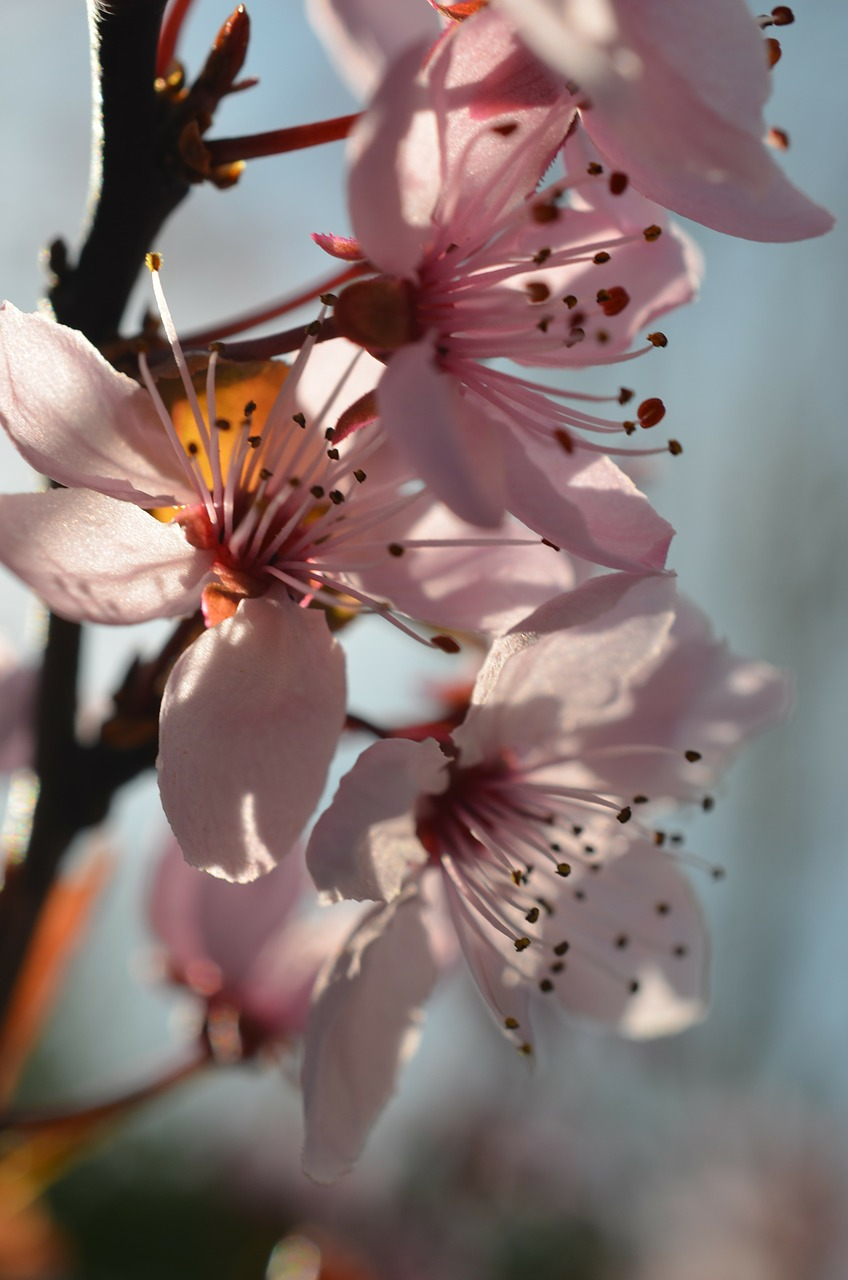 japanese cherry blossom spring flowers free photo