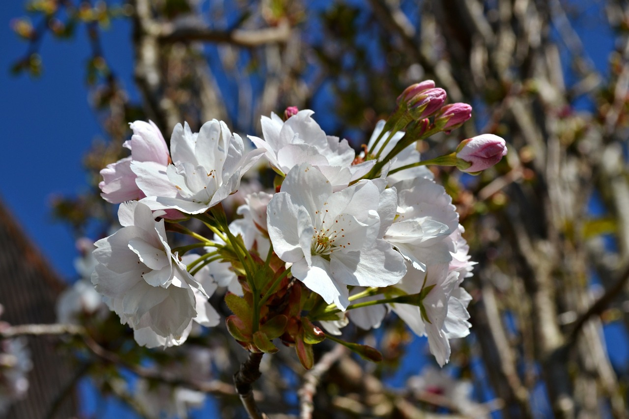 Japanese Cherryblossomsflowersbloomwhite Blossoms Free Photo