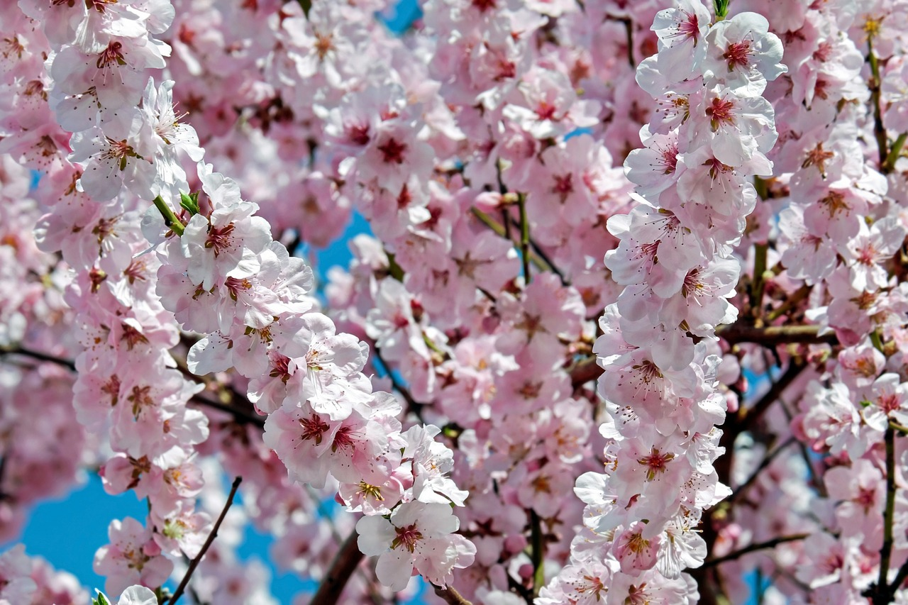 Japanese cherry treesflowerspinktreeflower tree free photo japanese cherry trees flowers pink mightylinksfo