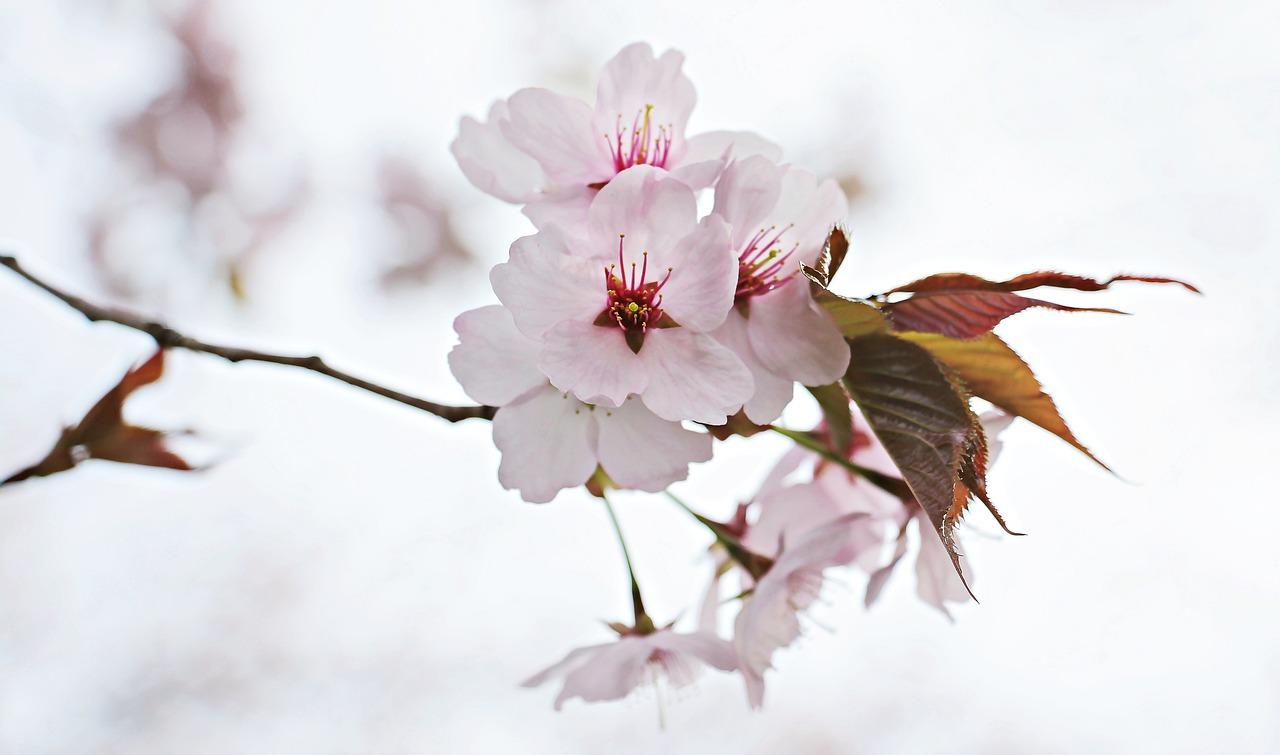 Japanese Cherry Trees Japanese Flowering Cherry Spring Flower