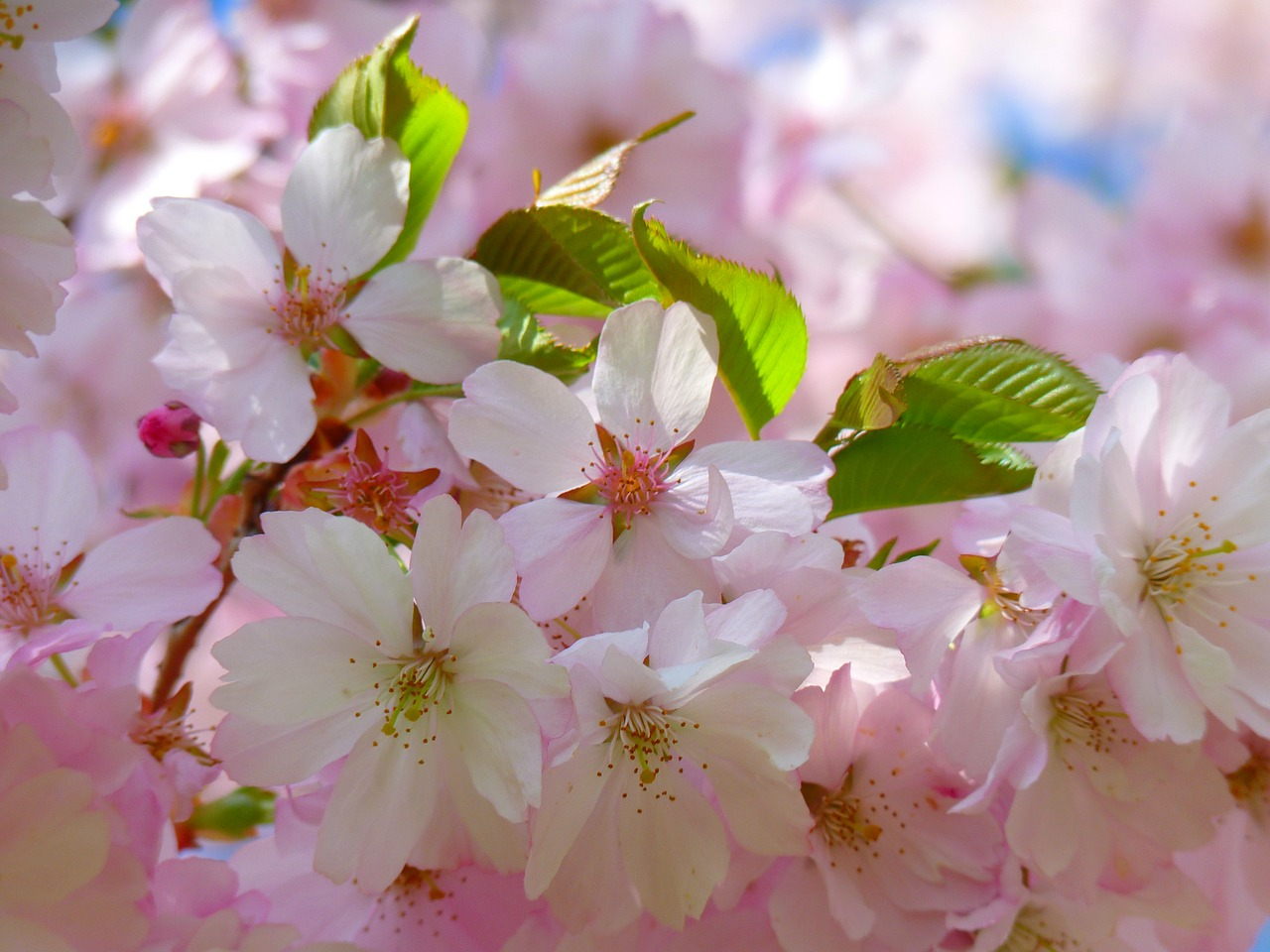 Download Free Photo Of Japanese Cherry Trees Blossom Bloom Cherry