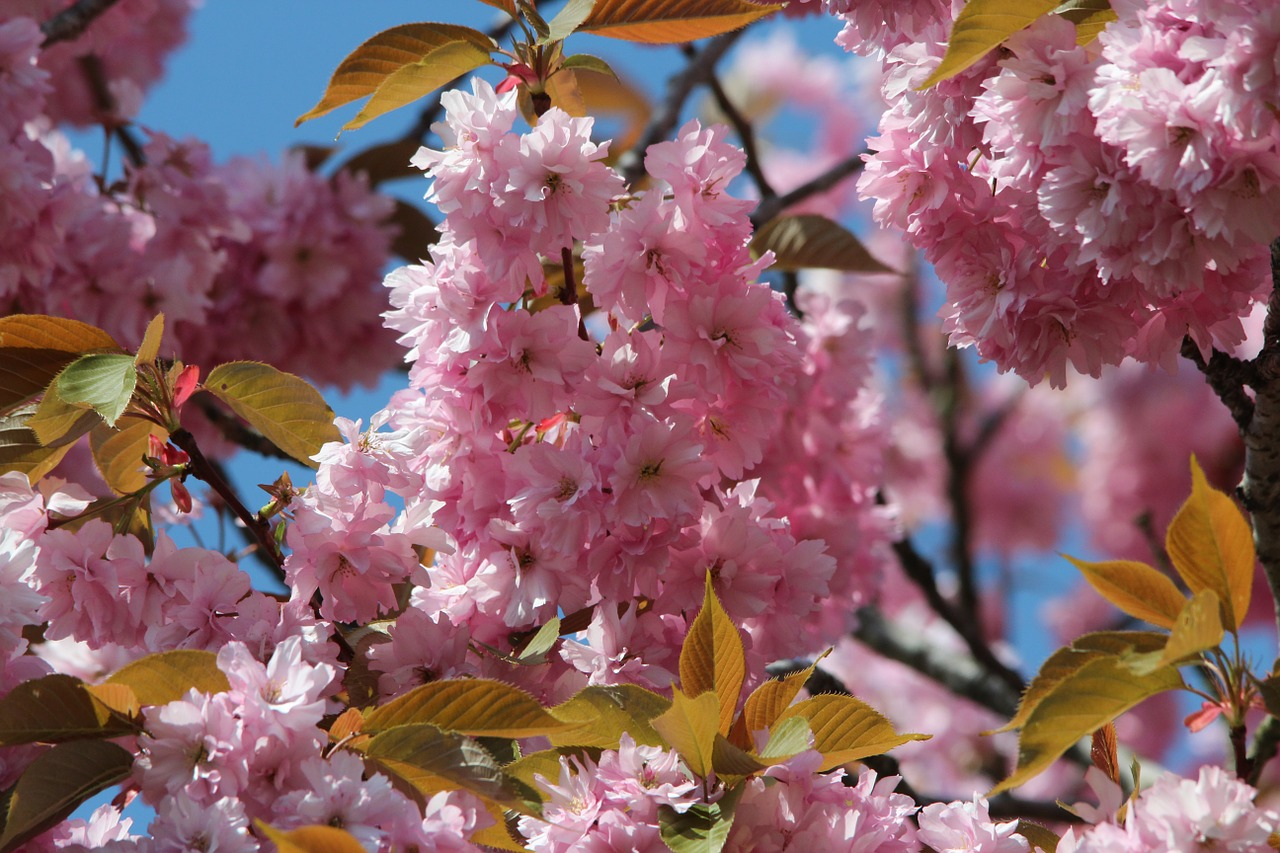 japanese flowering cherry prunus serrulata ornamental cherry free photo