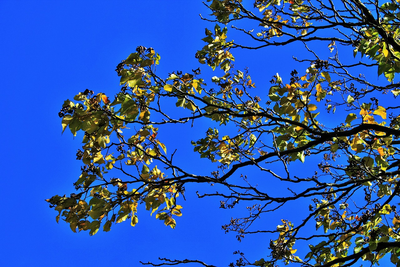 japanese raisin,branch,leaves,tree,yellow,autumn,sky,blue,free pictures, free photos, free images, royalty free, free illustrations, public domain