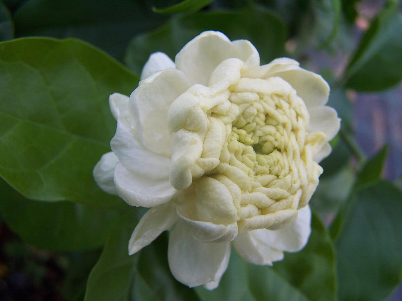 Jasminesambacgrand Duke Of Tuscanyperfumed Flowerarabian Jasmine
