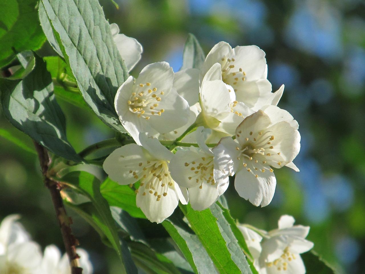 Jasmineblooming jasminewhite flowersbeautiful flowerfree photos jasmine blooming jasmine white flowers izmirmasajfo