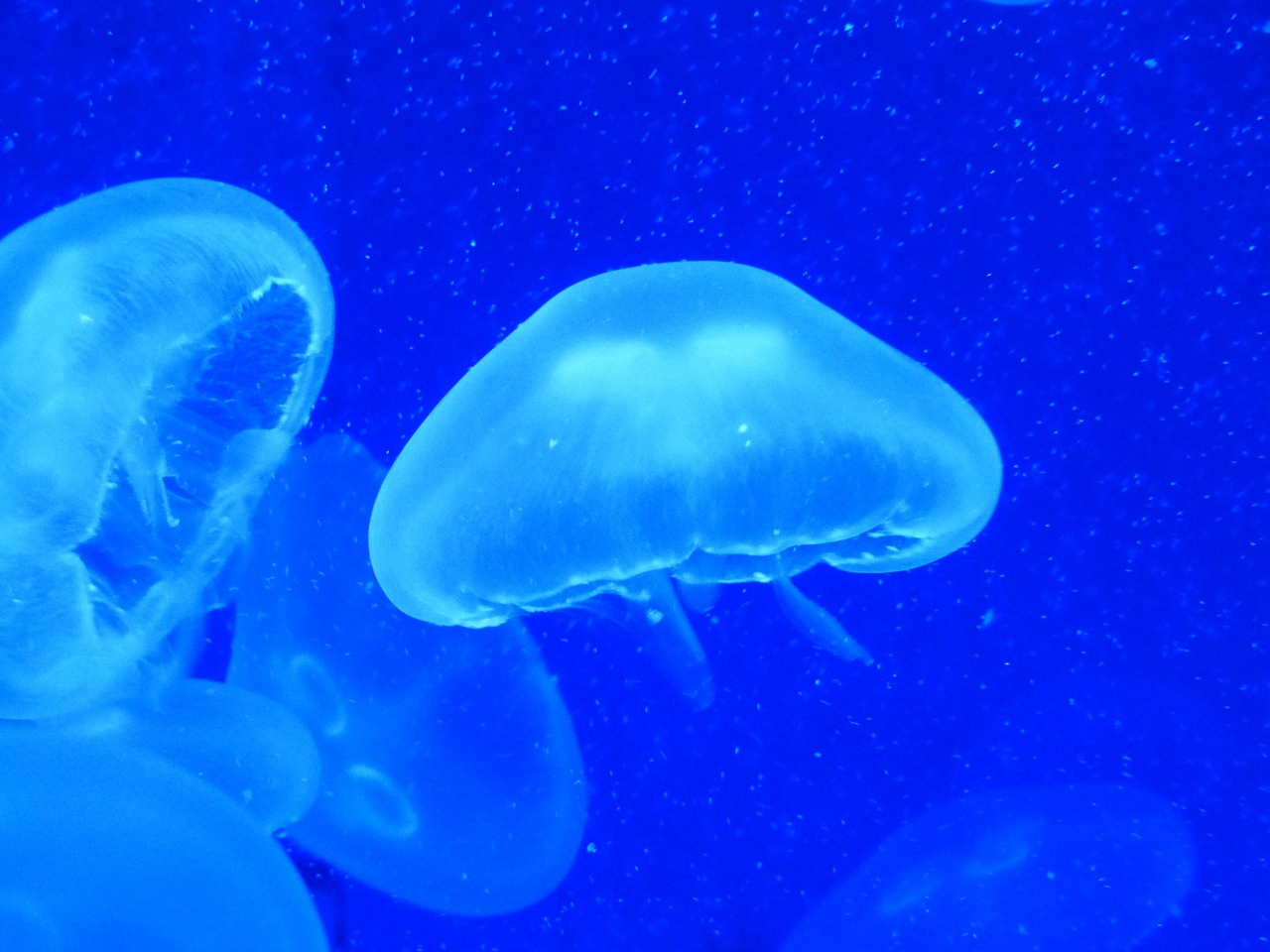 jellyfish cnidarian water free photo