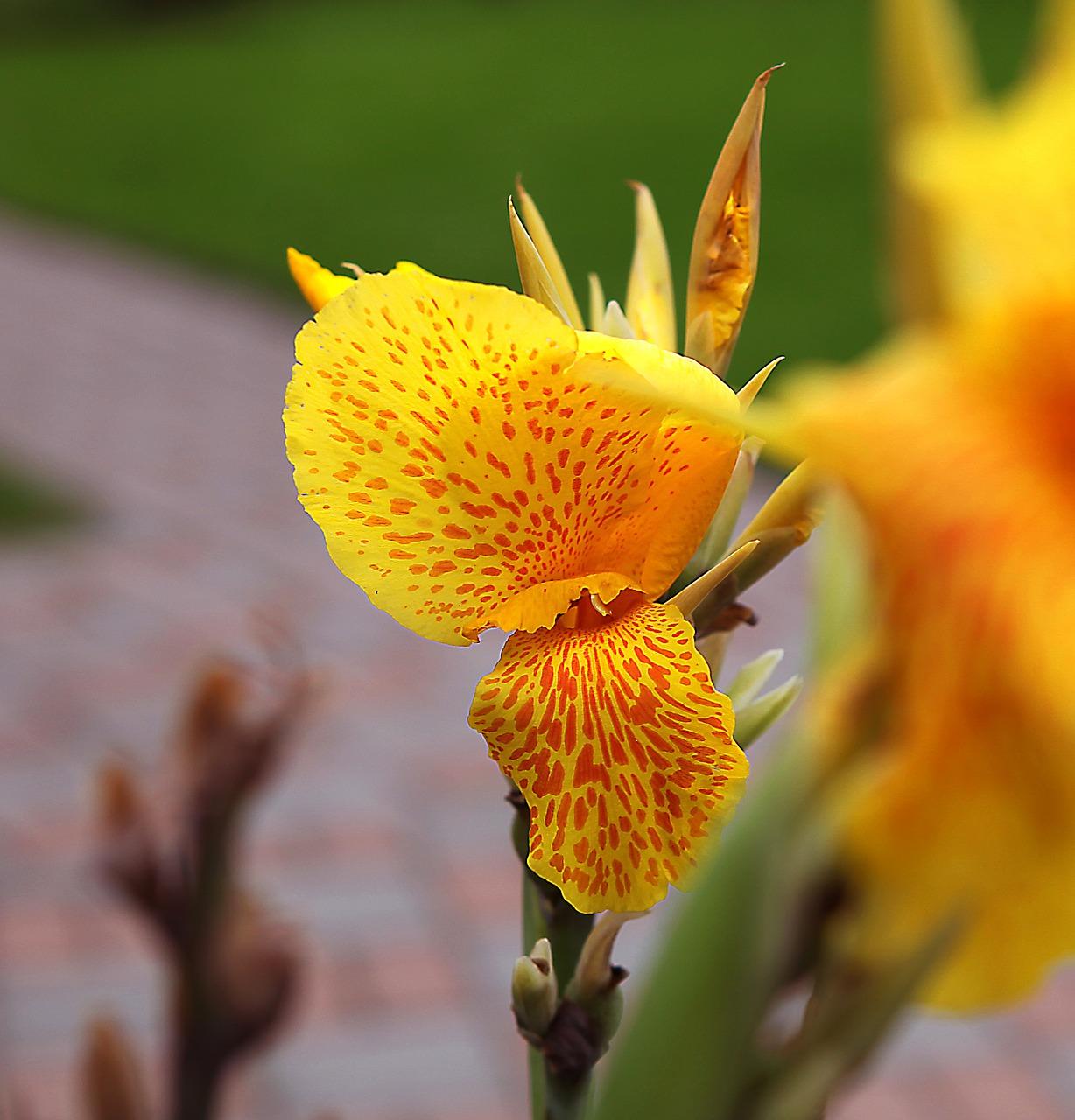 Kannakanna Yellowtigerflowers Yellowflowering Free Photo From