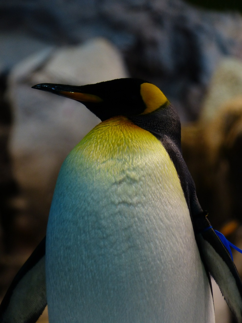 king penguin breast yellow free photo