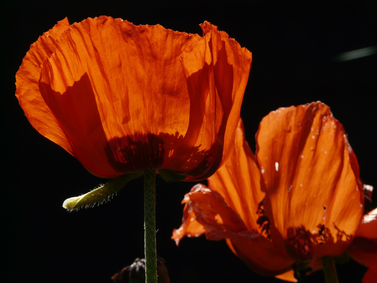 klatschmohn poppy blossom free photo