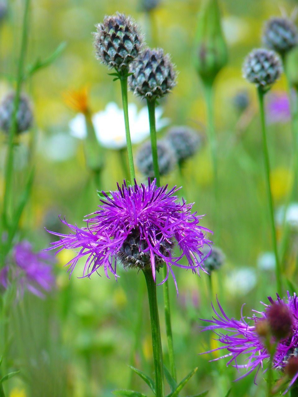 knapweed violet pointed flower free photo