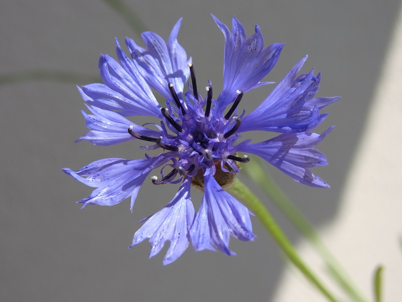 knapweed centaurea blossom free photo