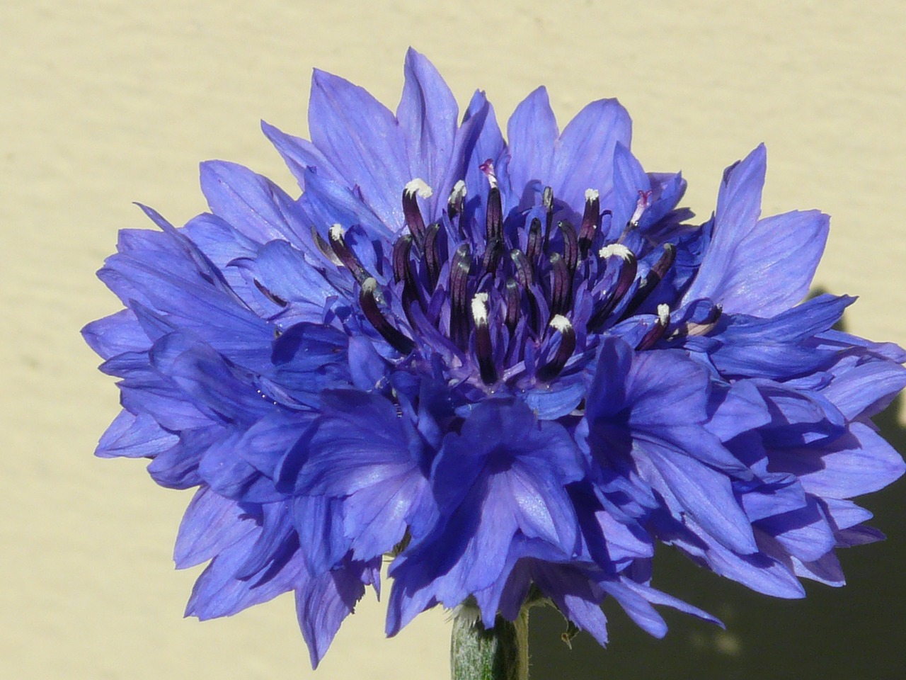 knapweed cornflower blue free photo