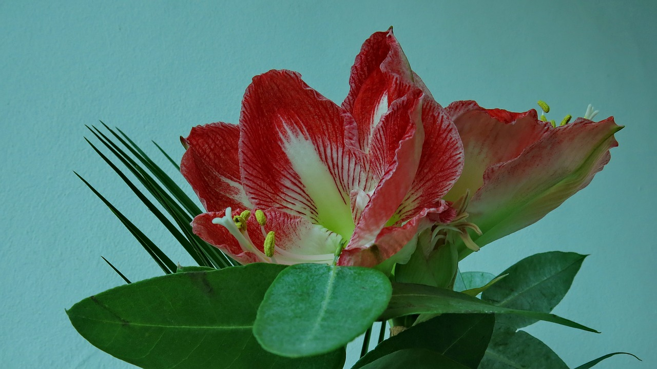 knights star amaryllis red blossom free photo