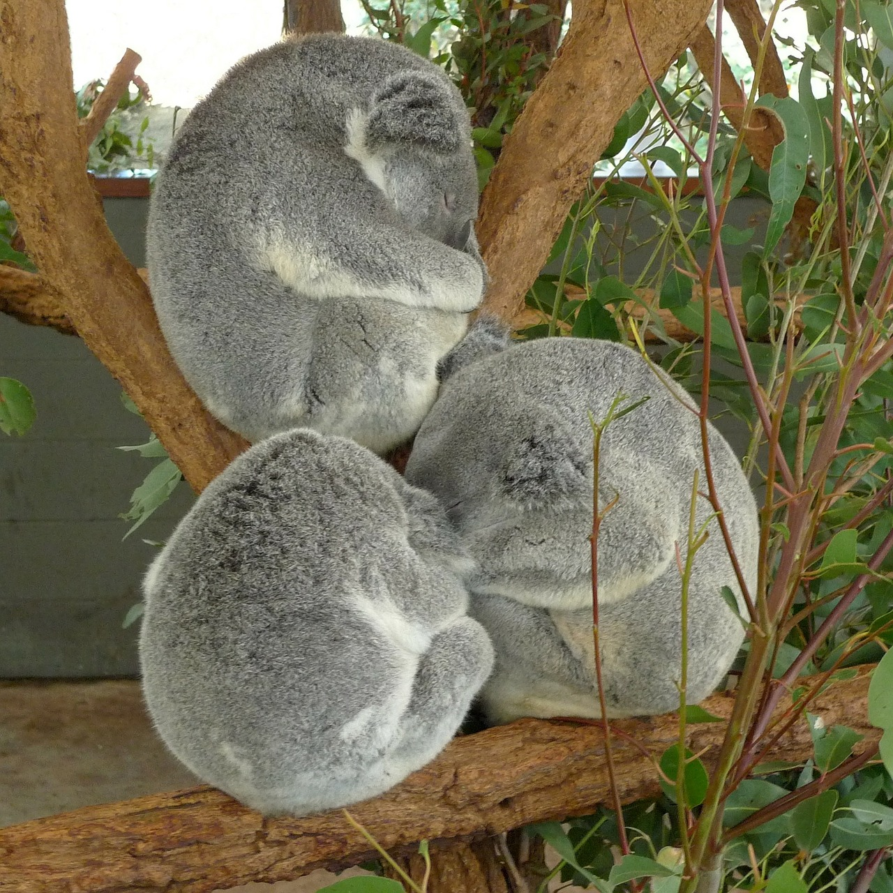 koala bears bear free photo