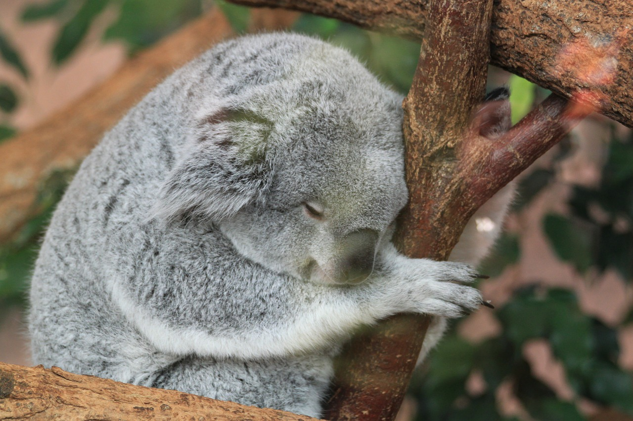 koala fauna animals free photo