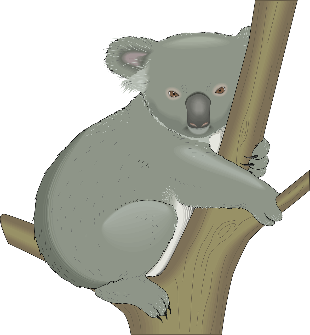 koala,australia,tree,hug,branch,animal,mammal,wildlife,australian,native,free vector graphics,free pictures, free photos, free images, royalty free, free illustrations, public domain