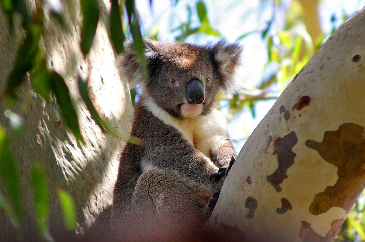 koala australia phascolarctos cinereus free photo