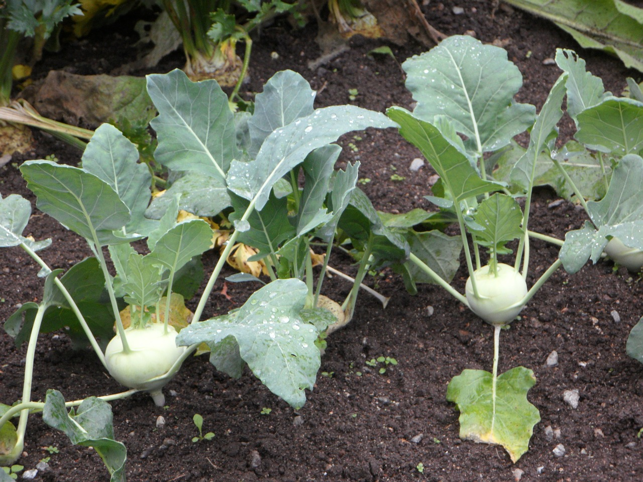 kohlrabi bed vegetable patch free picture