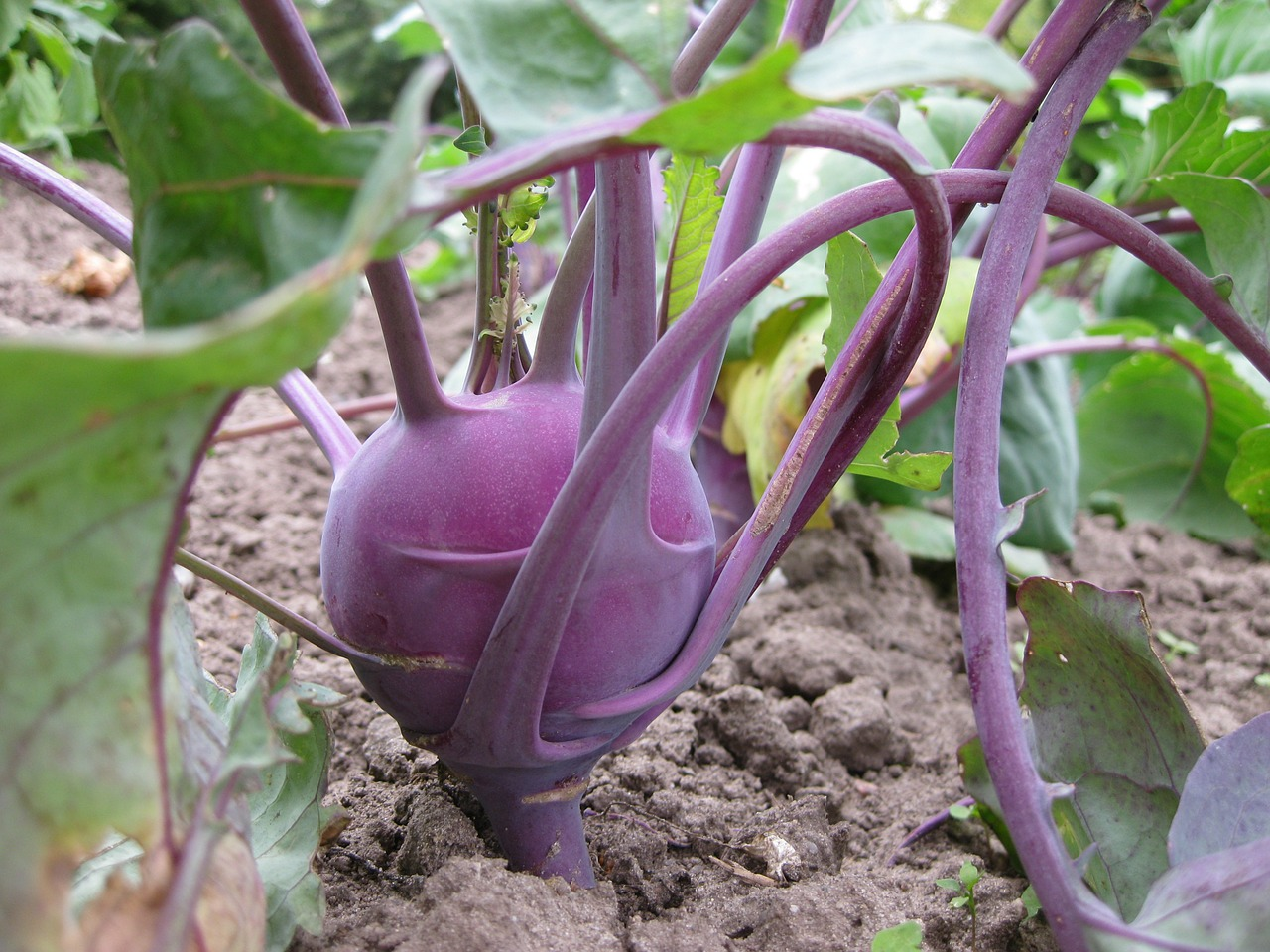 kohlrabi vegetables food free photo