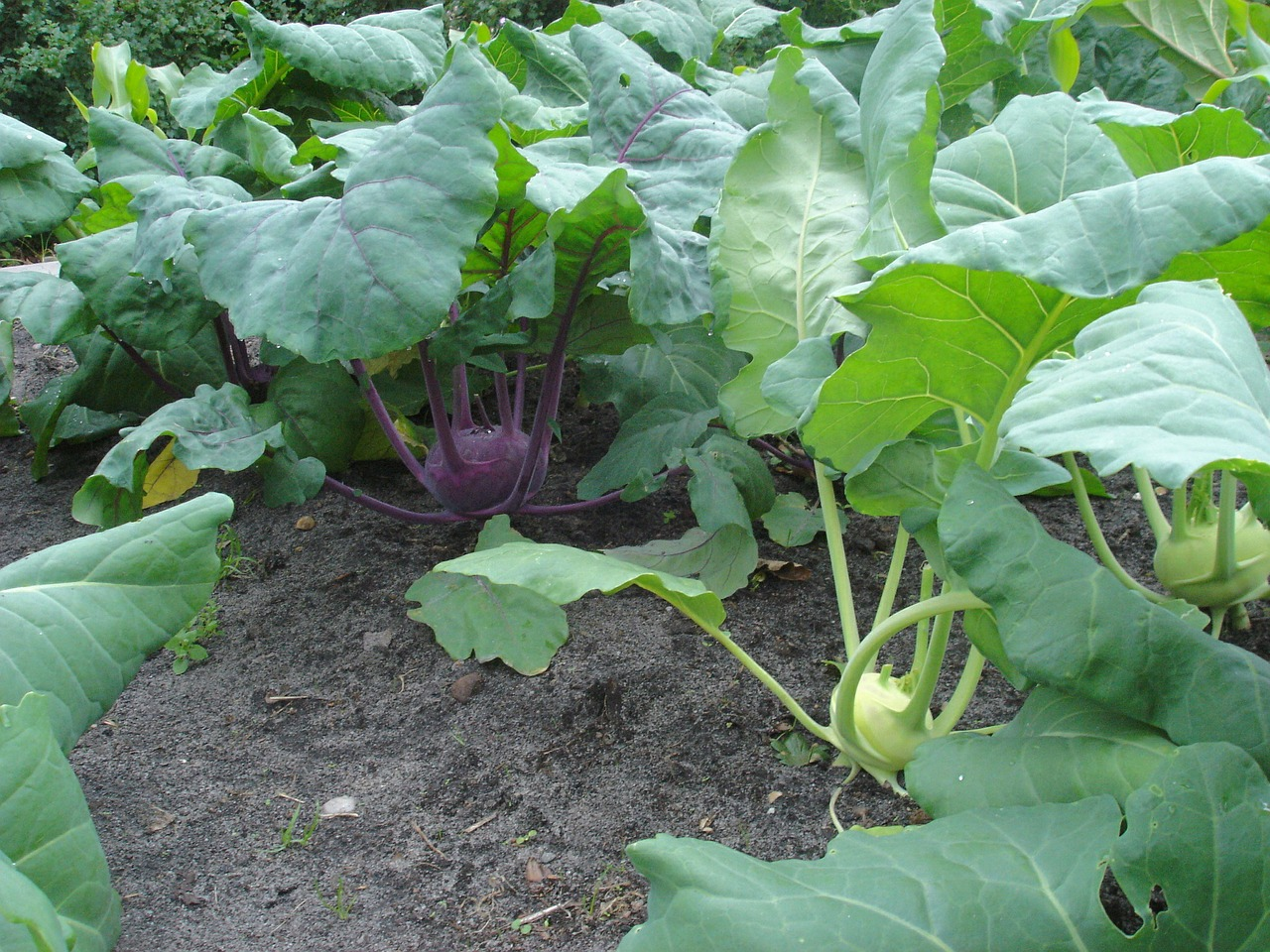 kohlrabi vegetables harvest free picture