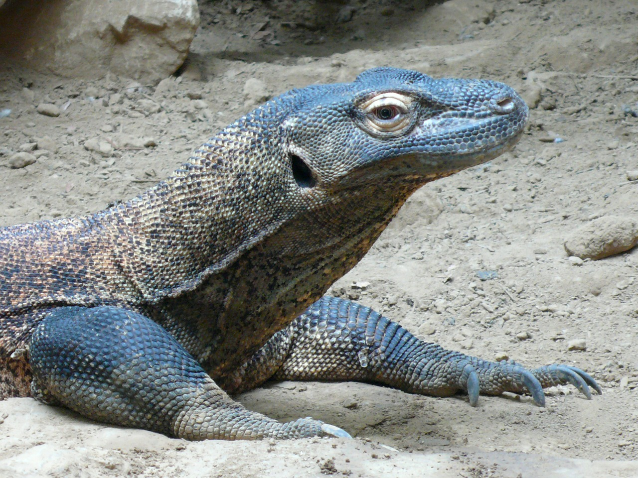 komodo dragon komodo lizard free photo
