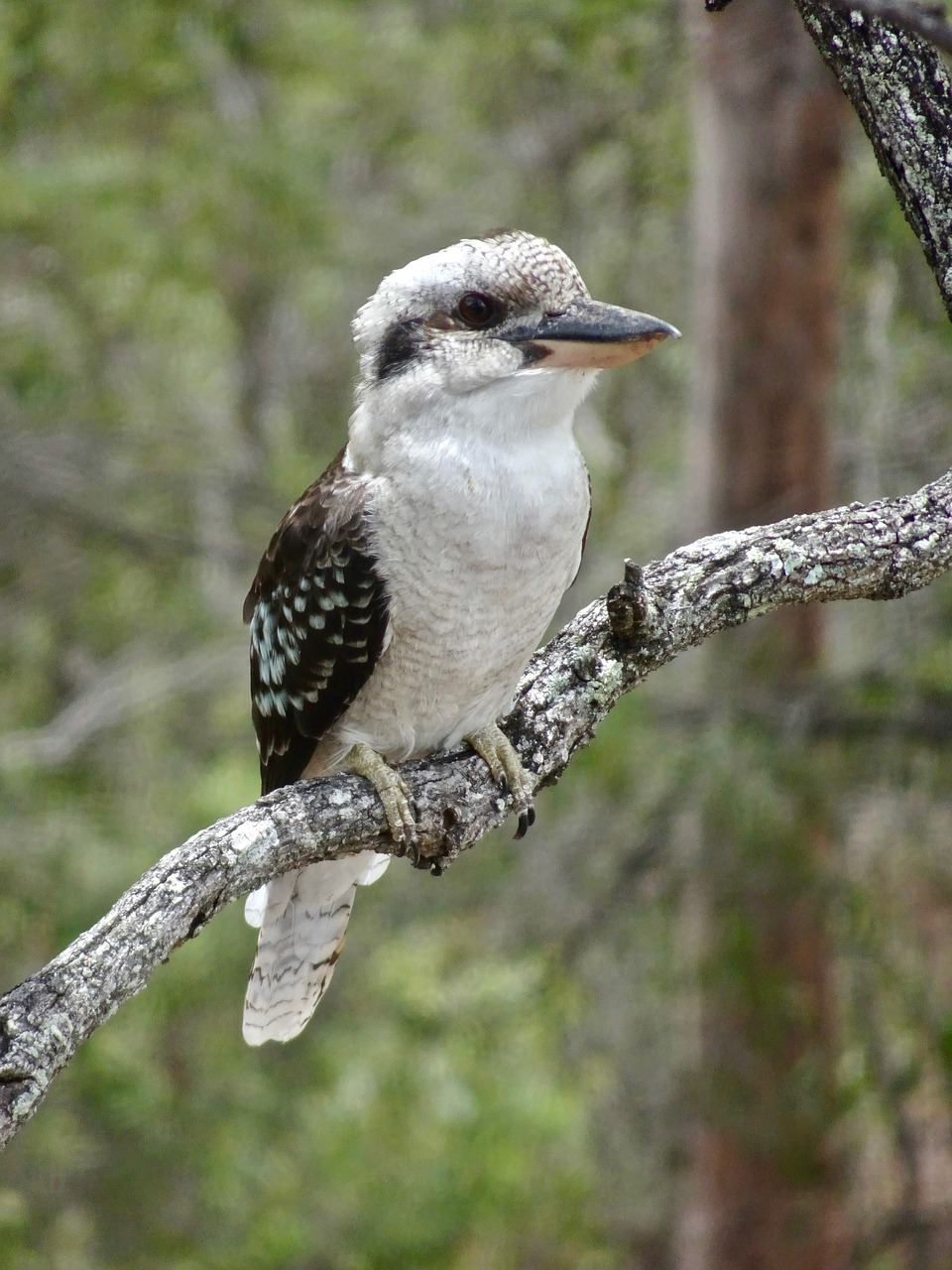 kookaburra australia kingfisher free photo