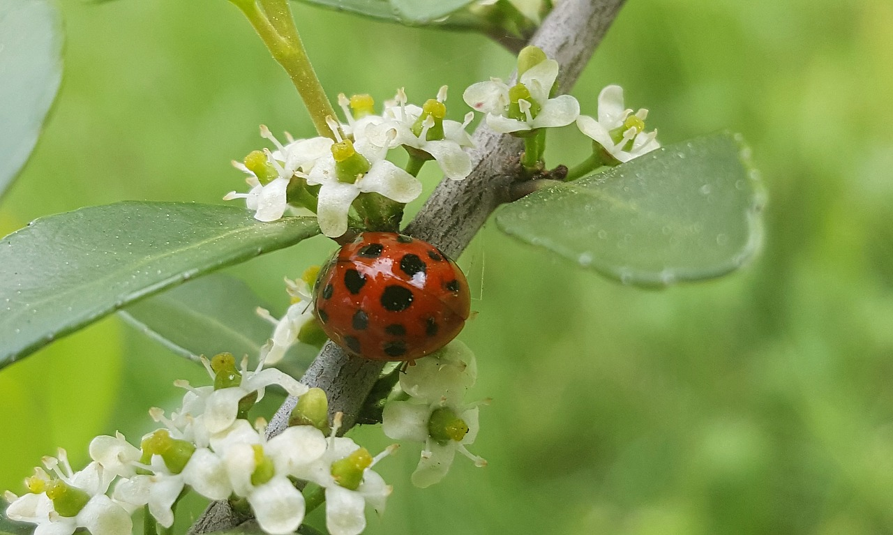 ladybug,sprig,lady beetle,spring,buds,budding,flowers,ladybird,bug,beetle,insect,harmonia beetle,macro,twig,branch,entomology,biology,arthropod,harmonia axyridis,free pictures, free photos, free images, royalty free, free illustrations, public domain