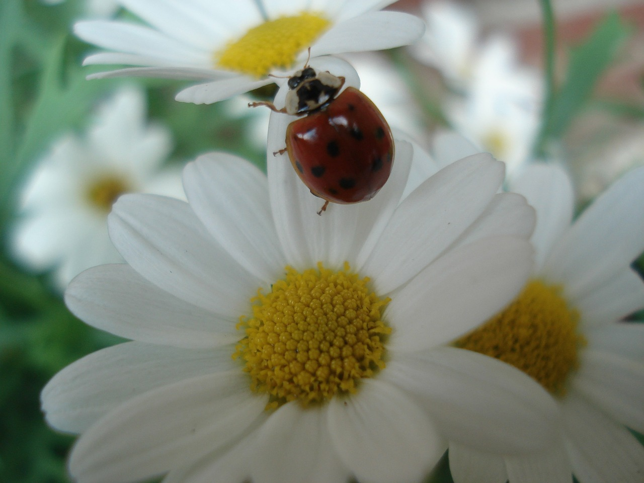 ladybug nature animals free photo