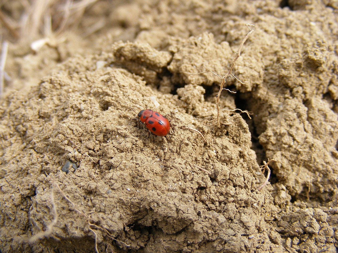 ladybug insects bug free photo