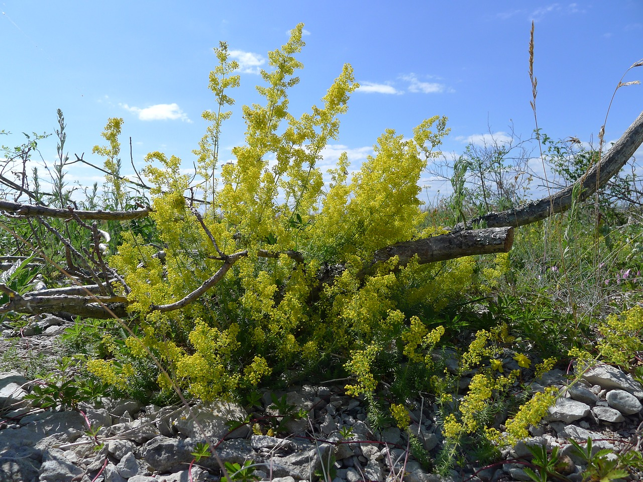 lady's bedstraw branch pebble beach free photo