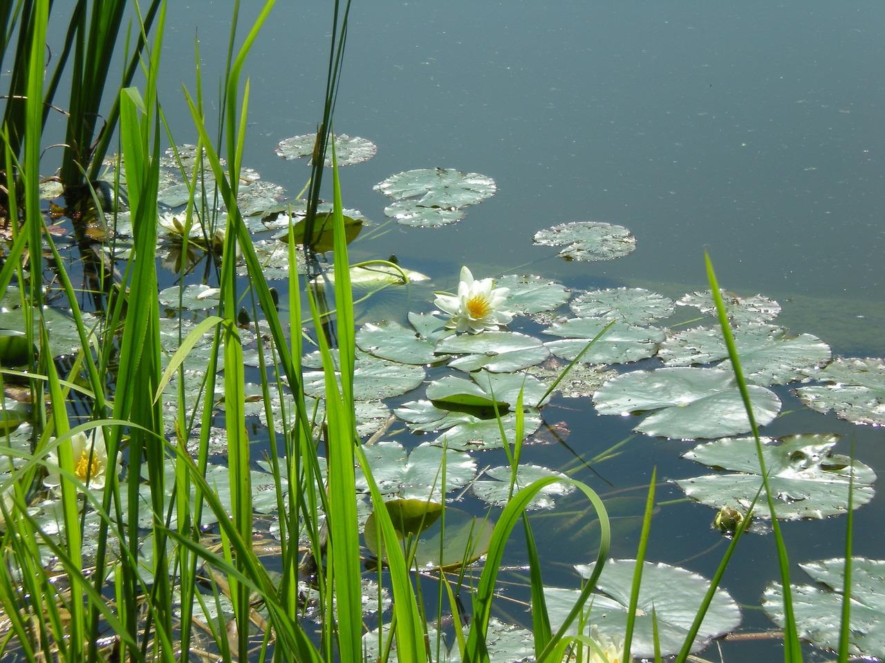 Lakeflowerssummerplantblossom Free Photo From Needpix