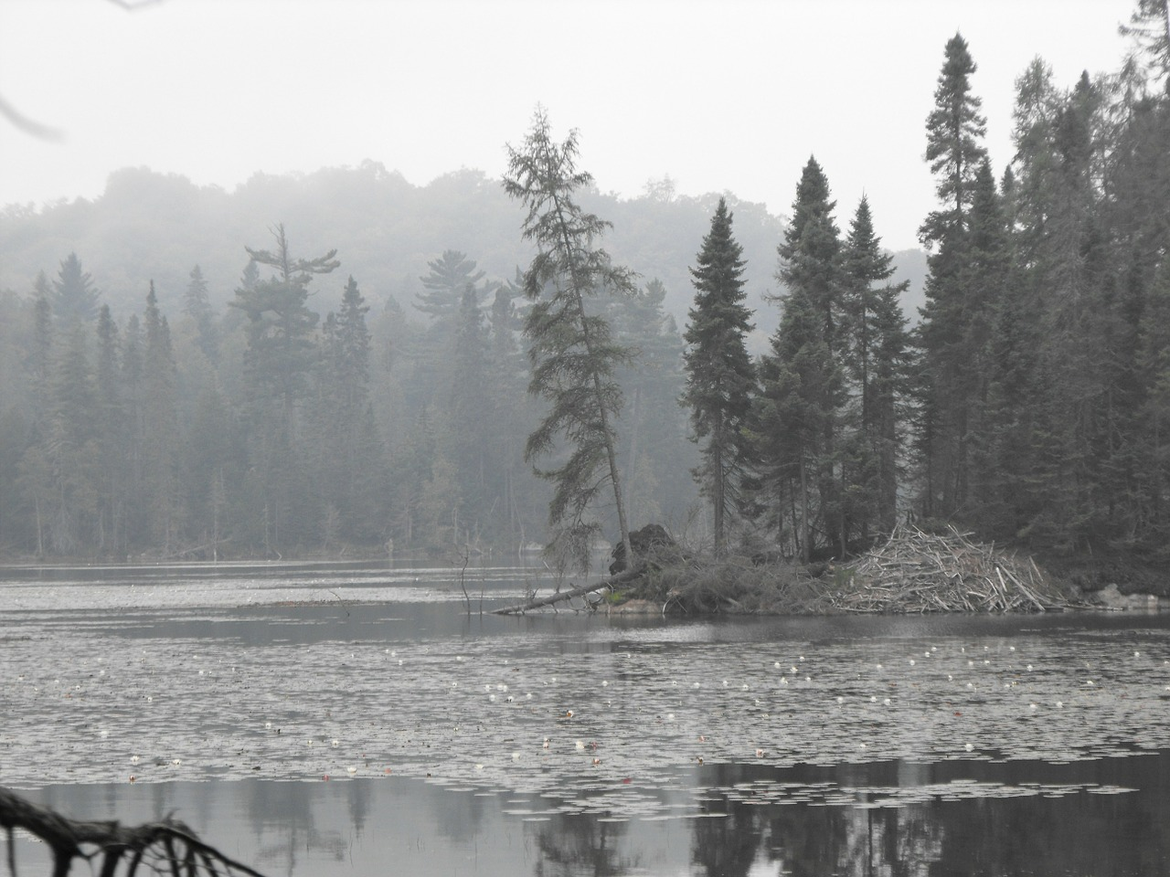 lake mist fir trees free photo
