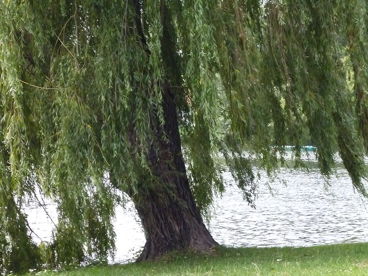 lake tree nature free photo