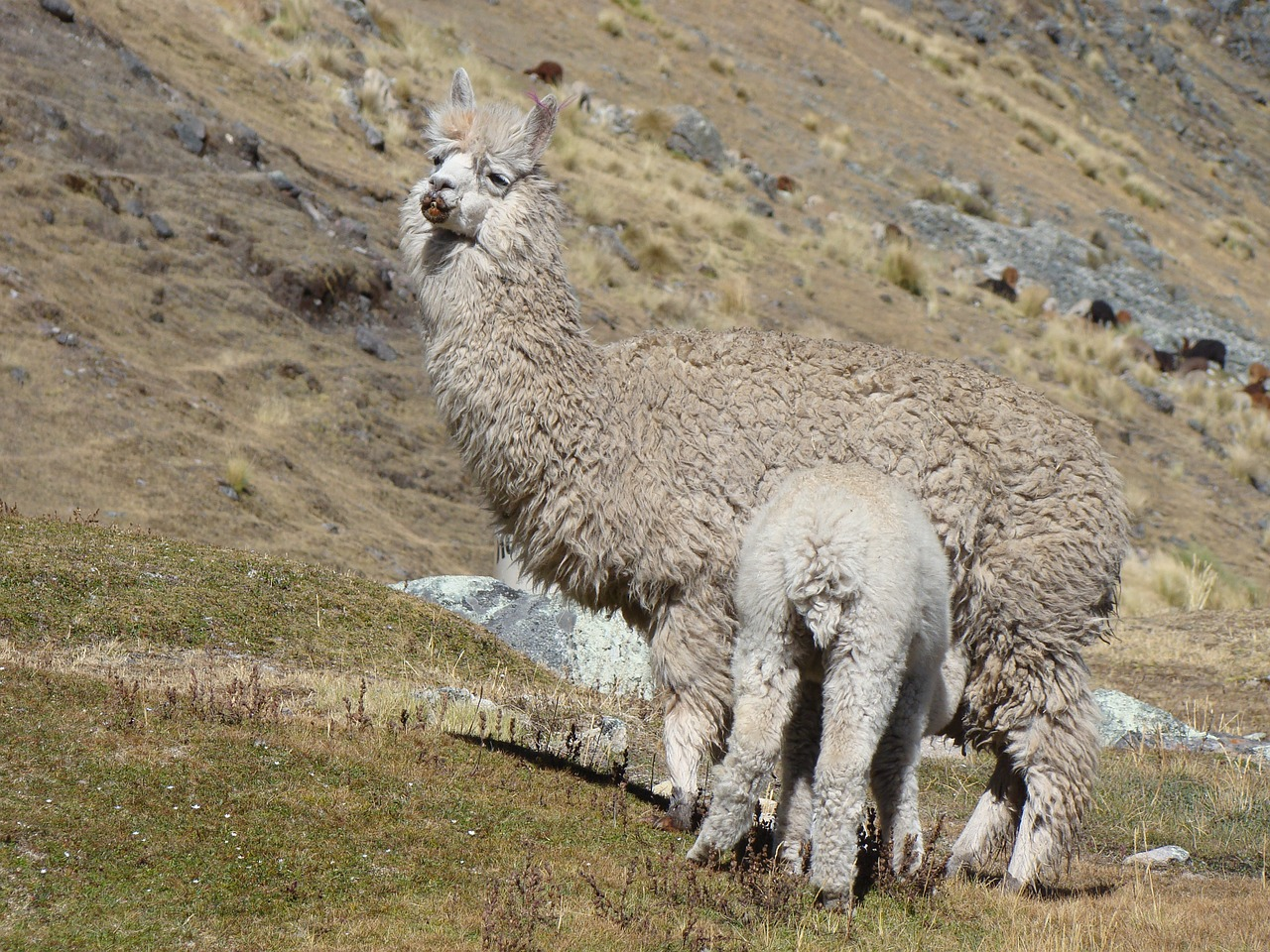 lama peru mother free photo