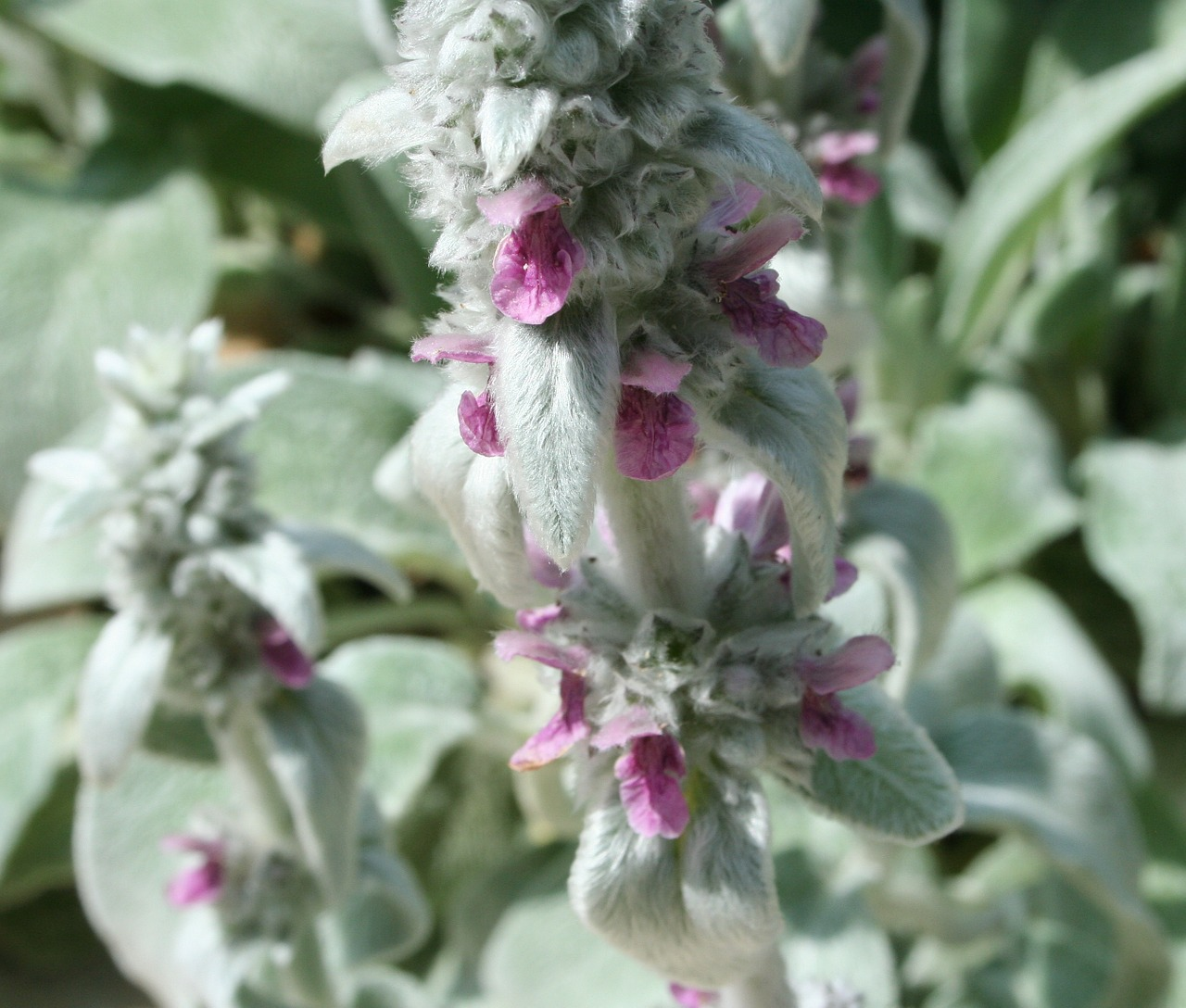 lambs ear soft free photo