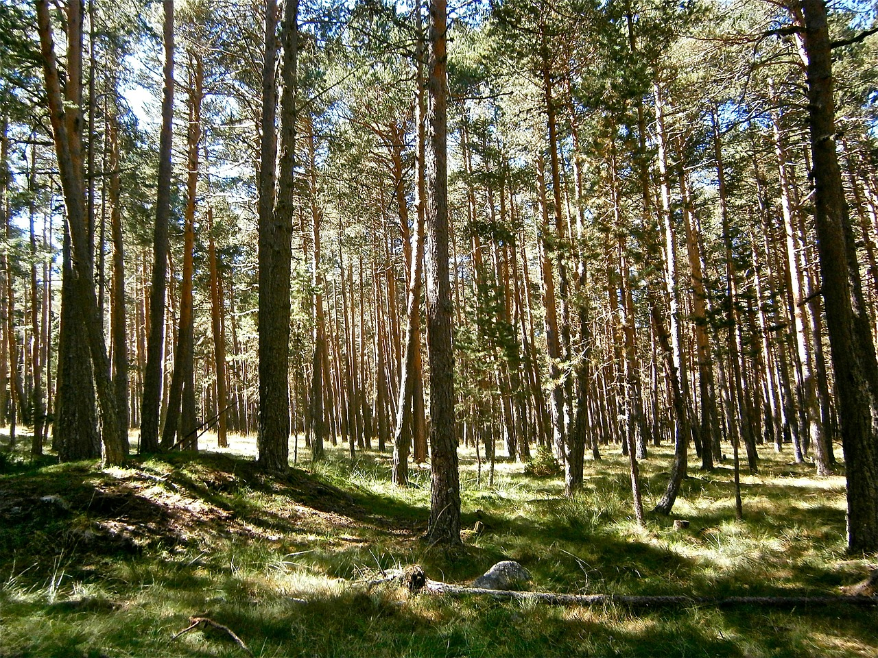 landscape forest pine free photo