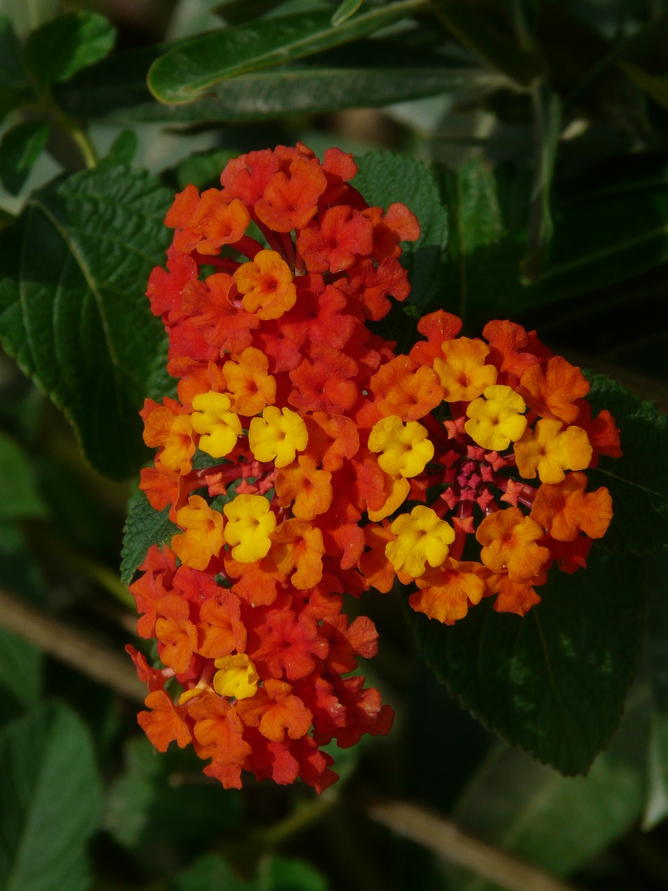lantana,lantana camara,ornamental plant,red,orange,yellow,flower,blossom,bloom,verbena greenhouse,verbenaceae,plant,garden,free pictures, free photos, free images, royalty free, free illustrations, public domain