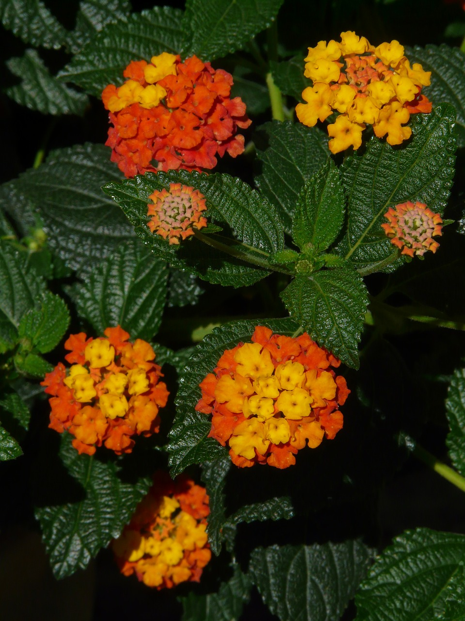 lantana lantana camara ornamental plant free photo