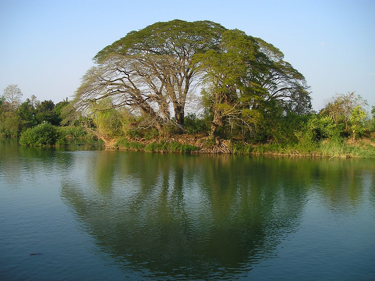 laos tree water free picture