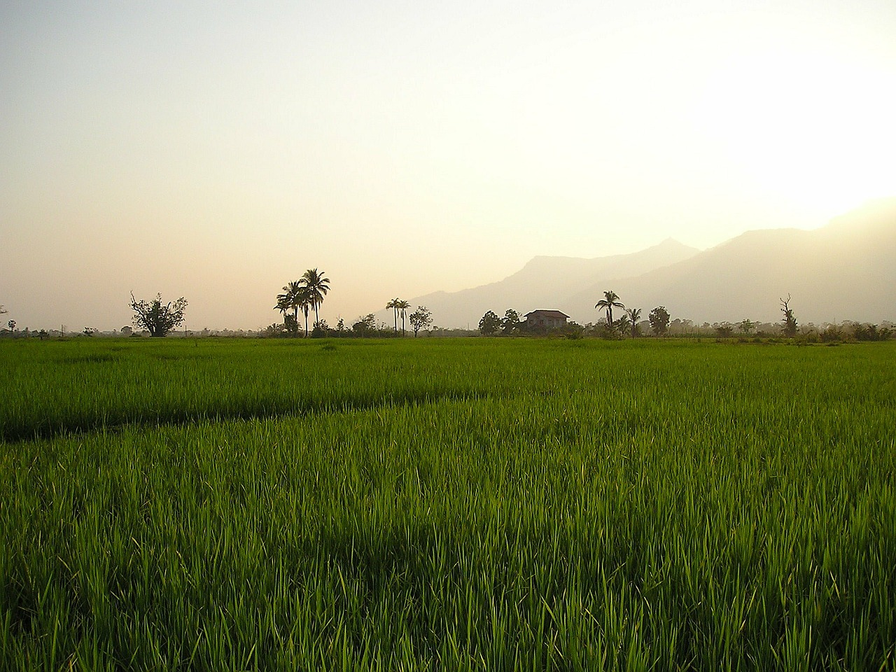 laos rice fields rice free photo