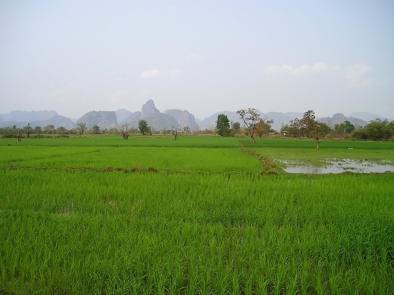 laos rice fields rice free picture