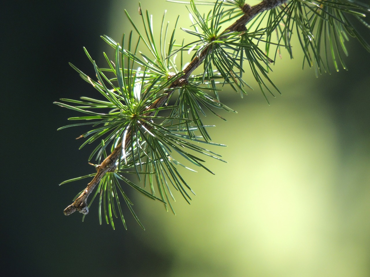 larch branch nature free photo