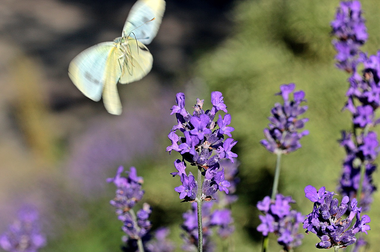 lavender true lavender narrow leaf lavender free photo