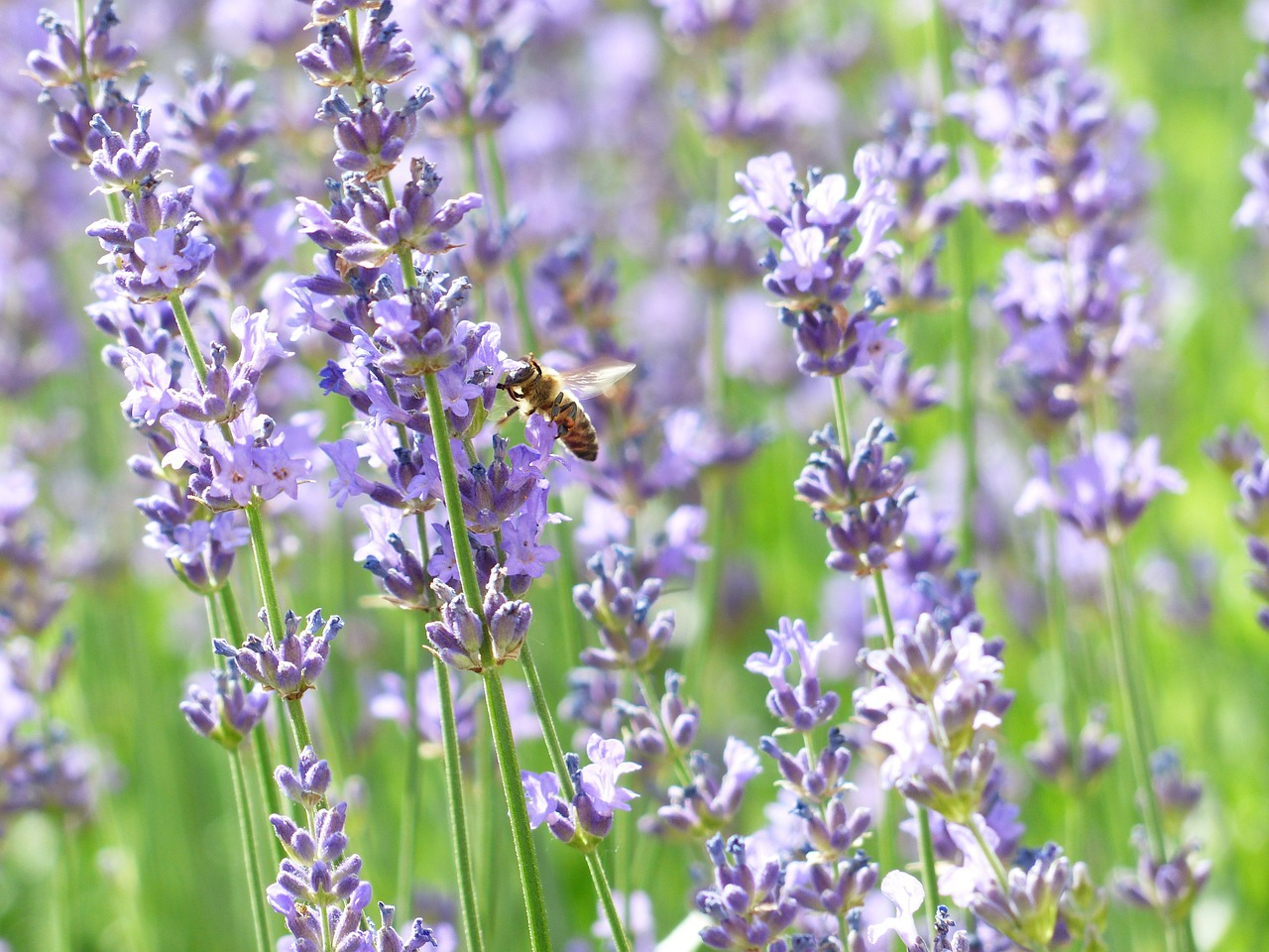 lavender lavender flowers bee free photo