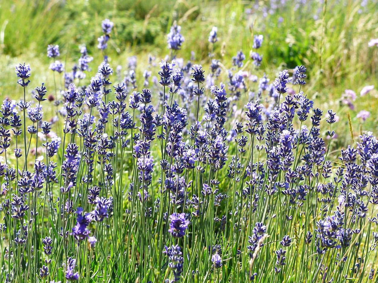lavender flower flowers free photo