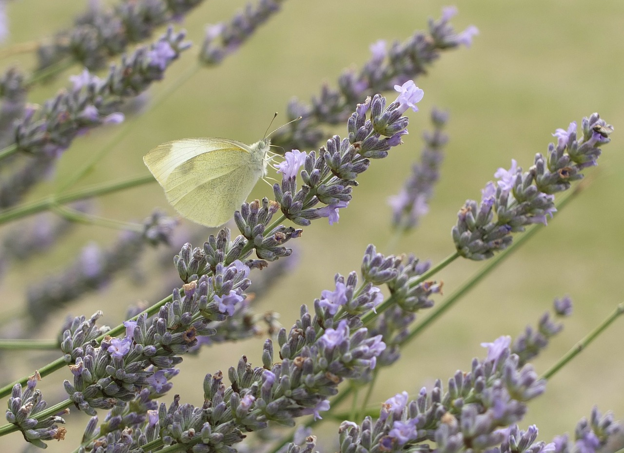 lavender butterfly flowers free photo