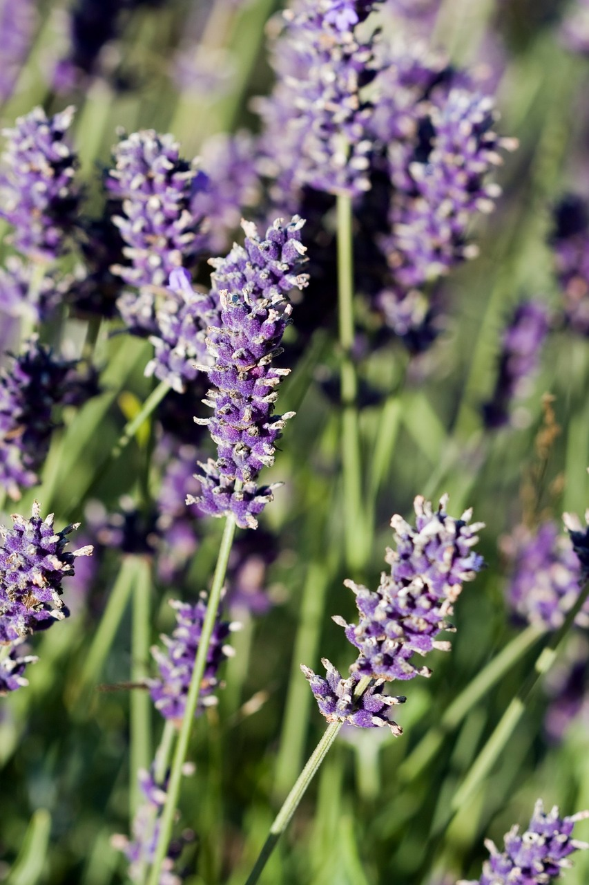 Lavenderflowersbeautifulmacroclose up free photo from needpix lavender flowers beautiful izmirmasajfo